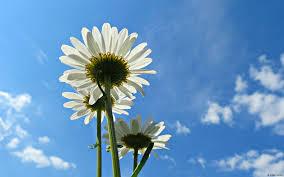 daisy field wallpaper e t pinterest daisies daisy field hd