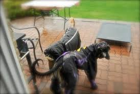 afghan hound breeders victoria customers galery mariscalato s afghans