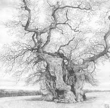 White Oak Tree Drawing Gallery Paul Newman