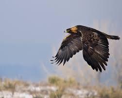 golden eagle the audubon birds u0026 climate change report