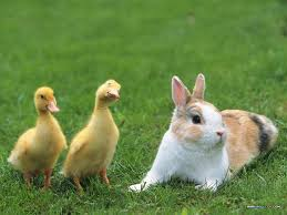 easter bunnies and ducks guardian liberty voice