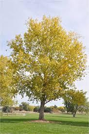Cottonwood Tree Flowers - 1758 cottonwood cotton planttalk coloradoplanttalk colorado