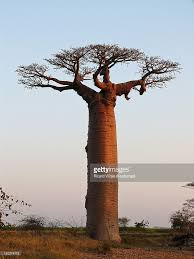 baobab tree stock photos and pictures getty images