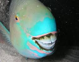 absurd creature of the week this goofy fish poops out white sand