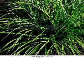 carex morrowii variegata stock photos carex morrowii variegata