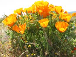 camissonia u0027s ca native plant poppy flowers los angeles chapter 8 the allied nations say