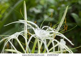 crinum lily cape lily poison bulb stock photo 382972732 shutterstock
