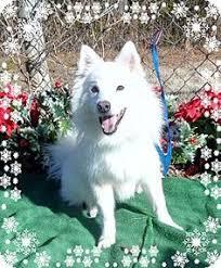 american eskimo dog adoption american eskimo dog dog for adoption in menifee ca adn 510375 on
