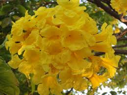 List Of Flowers by Happiness All Around Us Flowering Trees In India