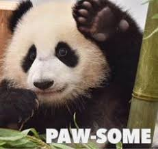 Panda Mascara Meme - hahaha aww pinterest meghnaprasad4 pinteres