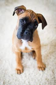 boxer dog door knocker 141 best images about boxers on pinterest who goes there