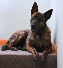 belgian shepherd dog temperament dutch shepherd dutch shepherd pinterest dutch dog and