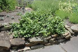 star jasmine on trellis maid of orleans jasmine jasminum sambac u0027maid of orleans u0027 in