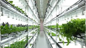 toshiba u0027s high tech grow rooms are churning out lettuce that never