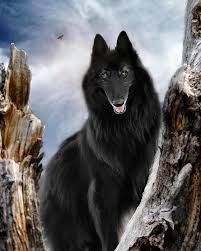 belgian sheepdog epilepsy a mother u0027s touch shadow photography wolf and belgian shepherd
