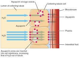 26 2 water balance anatomy and physiology