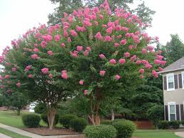 what s wrong with my crepe myrtle 4 common problems