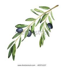 olive tree branch on white background watercolor