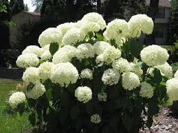 the snowball perennial grows many large balls of flowers ezzy