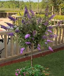 would love to have pink butterfly bush patio tree by cottage