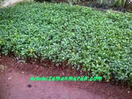 Teh Tehan pohon teh tehan tanaman pagar jual tanaman hias murah tukang
