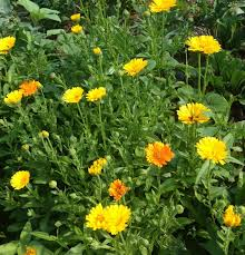 calendula flowers how to calendula flowers make calendula family food garden