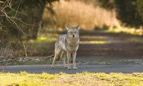Coyote In My Backyard Coyotes Become A Fact Of Life In Rural U2014 And Urban U2014 Areas Around