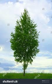 juniper tree varieties u2013 is juniper a tree or bush juniper tree