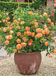 Pictures Of Gardens And Flowers Best 25 Roses Garden Ideas On Pinterest Growing Roses Roses