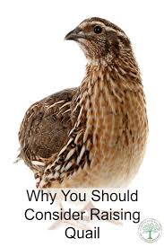 what u0027s so great about quail find out why you need them best