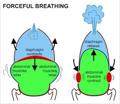 respiratory system wikipedia