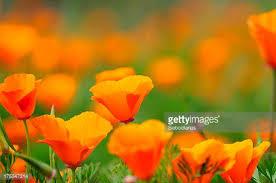 California Poppy California Golden Poppy Stock Photos And Pictures Getty Images