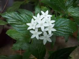 pentas flower pentas white organic bageecha