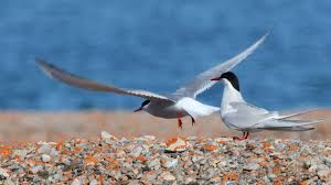 tern tag wallpapers tern bird arctic kingfisher live wallpaper