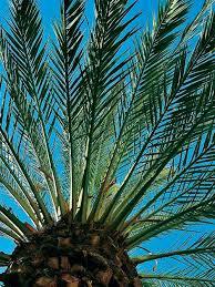 sylvester palm tree sale sylvester palm