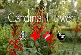 cardinal flower cardinal flower poison medicinal other uses plight to freedom