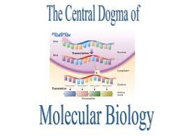 the 25 best central dogma ideas on pinterest transcription and
