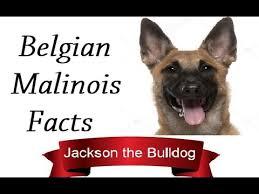 belgian malinois weight at 8 months belgian malinois facts youtube