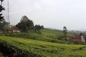 Teh Kayu Aro a day at kayu aro tea plantation food travel tempo co