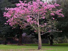 the grand dame of south florida trees the royal poinciana about