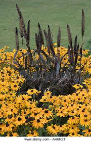 purple ornamental millet pennisetum glaucum stock photos purple