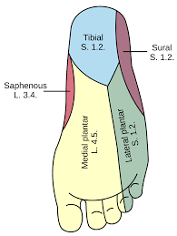 Foot Anatomy Nerves Plantar Nerve Wikipedia