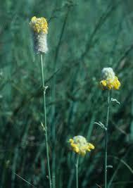 kansas native plant society native plants archives dyck arboretum