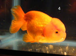 different breeds of goldfish pictures to pin on pinterest thepinsta