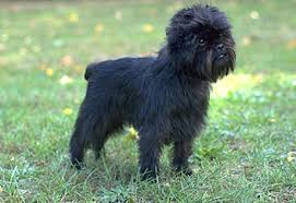 affenpinscher swimming games forums home view topic breeds of dogs