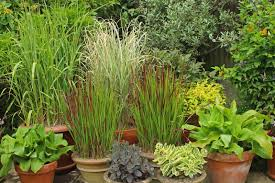 get creative with ornamental grasses news cowell s garden centre