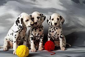 dalmatian puppies photograph garry