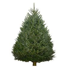 fraser fir tree fraser fir trees trees products