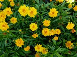 Garden Plants Names And Pictures by Coreopsis Grandiflora Maedchenauge Goldenmane Tickseed English