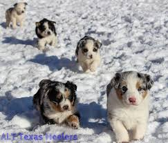 australian shepherd qld alt texas heelers texas heeler purebred and hybrid puppies